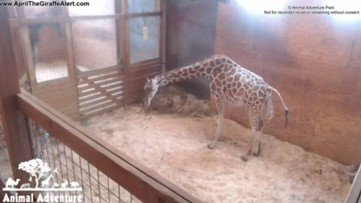 April the giraffe welcomes her fifth calf